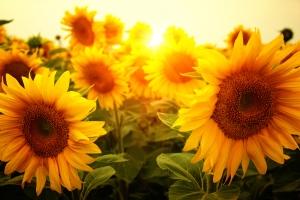 planting-sunflowers